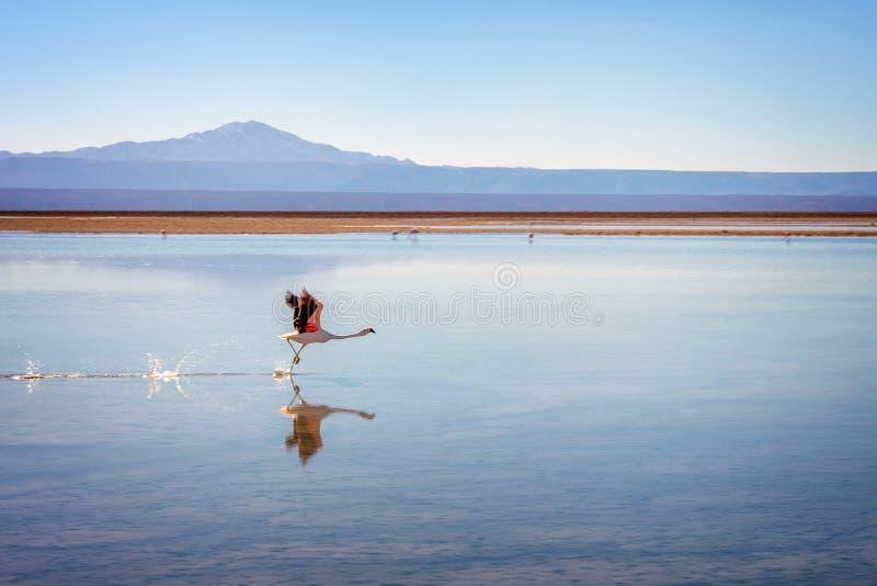 Flamant andin effectuant le vol à Laguna Chaxa, Atacama Salar, Chili photos libres de droits