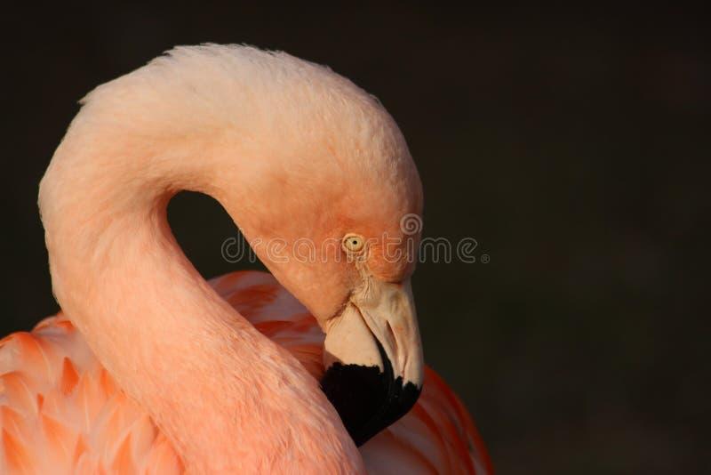 Flamant chez Montgomery Zoo, Montgomery, Alabama photos stock