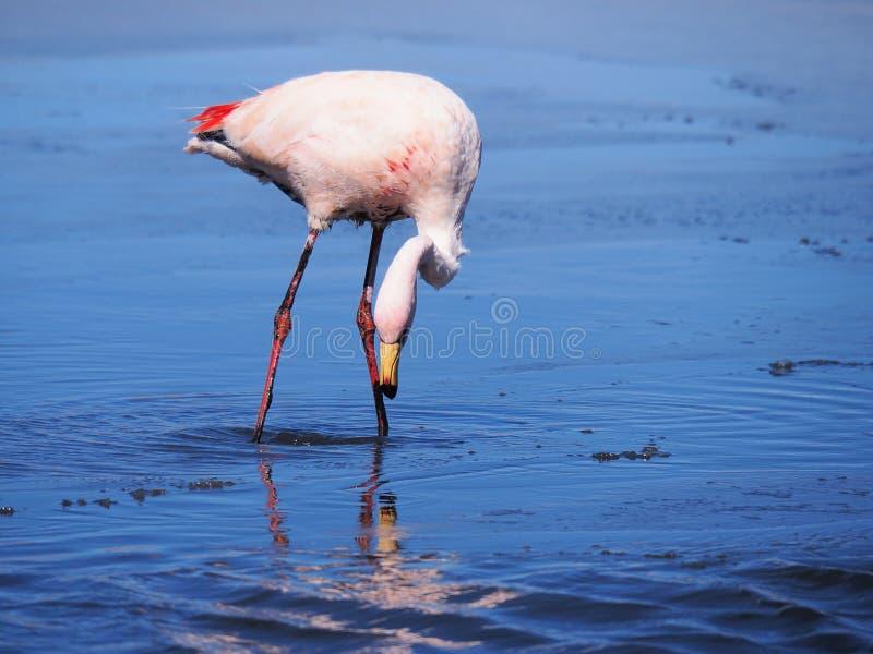 Flamant coloré dans la lagune à distance photo libre de droits