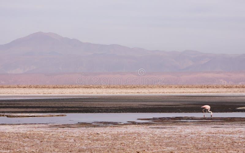 Flamant dans Atacama image libre de droits