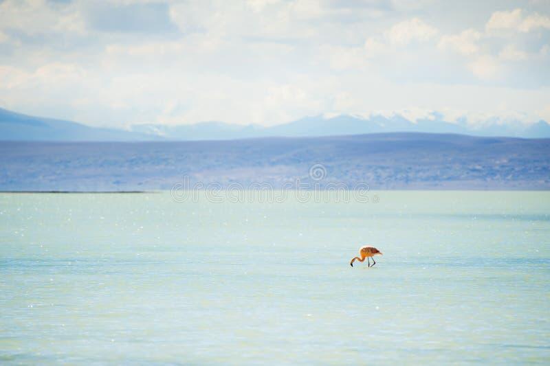 Flamant dans la lagune sur l'Altiplano, Bolivie photos libres de droits
