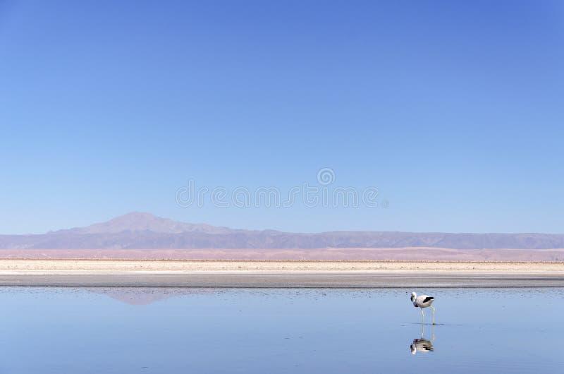 Flamant dans un altiplano de lagune images stock