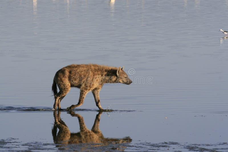 Flamant de chasse d'hy?ne rep?r?e sur le safari au Kenya Lever de soleil dans le lac Nakuru photographie stock