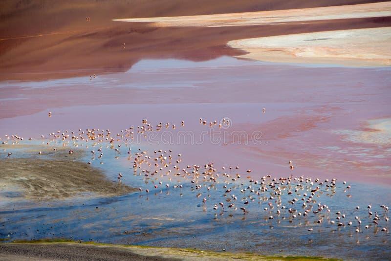 Flamant Laguna Colorada image libre de droits