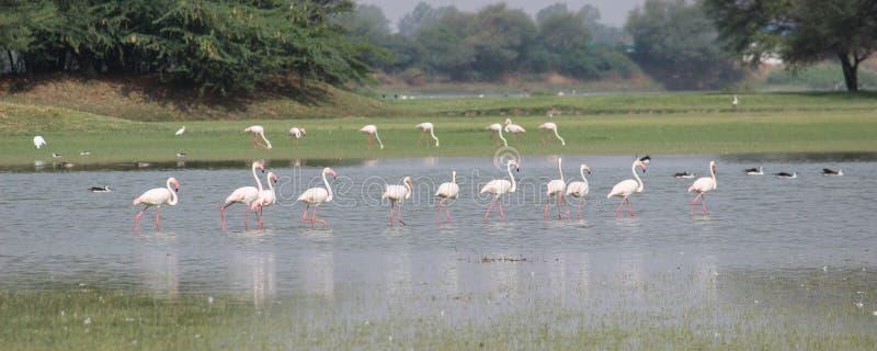 Flamant marchant dans une ligne dans le lac photos libres de droits