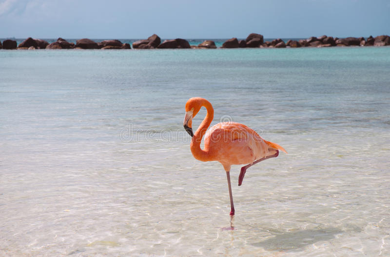Flamant rose photographie stock libre de droits