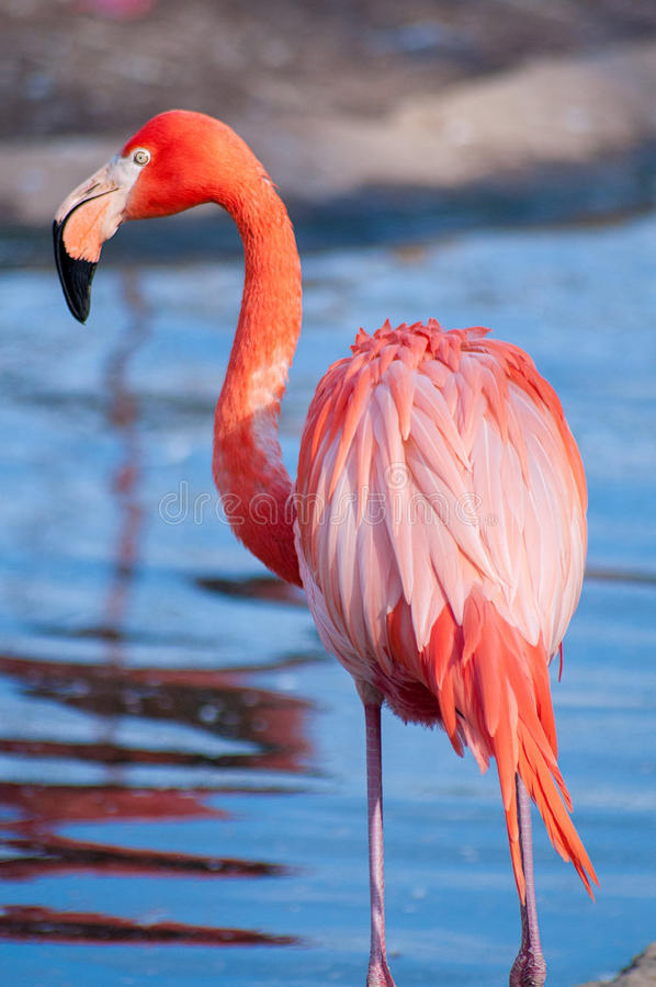 Flamant rose photographie stock