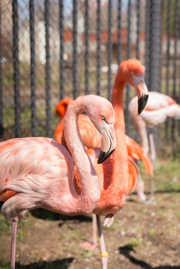 Flamant, rose, oiseau, plumage, deux, photographie stock
