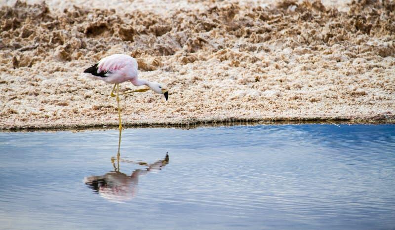 Flamant rose seul marchant et eau potable à l'intérieur d'une lagune de sel dans Salar de Atacama dans le désert d'Atacama au Chi images libres de droits