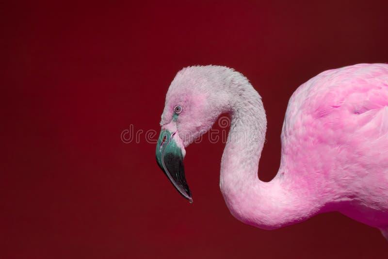 Flamant rose sur le fond rouge Wildlif contemporain vif photos stock
