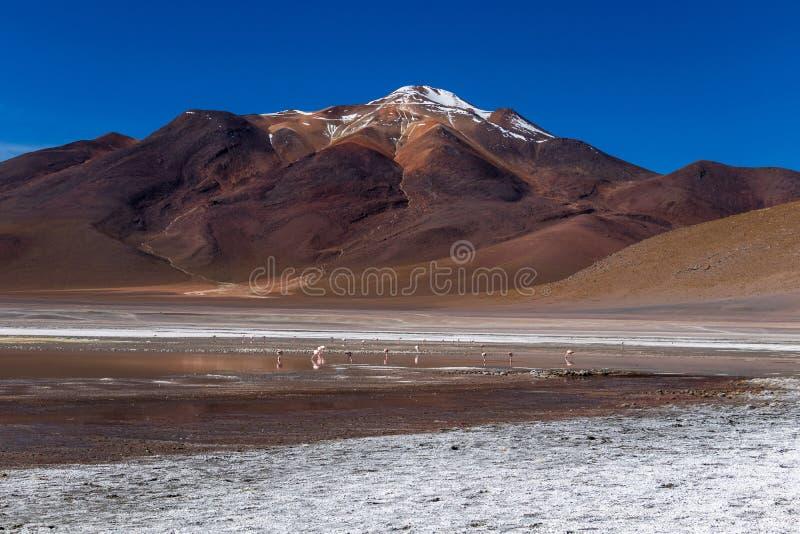 Flamants à Laguna Hedionda, lagune située dans le Bolivien Altiplano près de l'appartement de sel d'Uyuni en Bolivie photos libres de droits