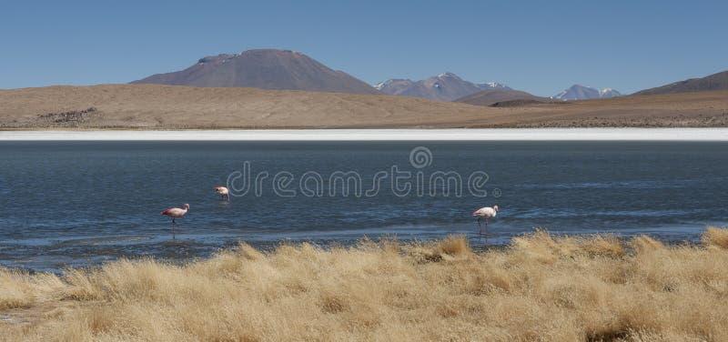 Flamants à Laguna Hedionda, un lac salin dans ni province de LÃpez, département de Potosà - situé dans l'altiplano bolivien photos libres de droits
