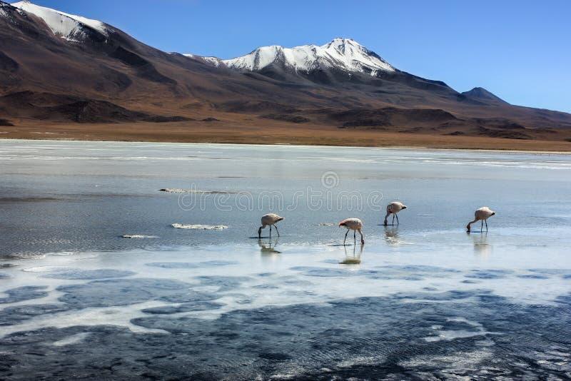 Flamants à Laguna Verde, Bolivie image libre de droits