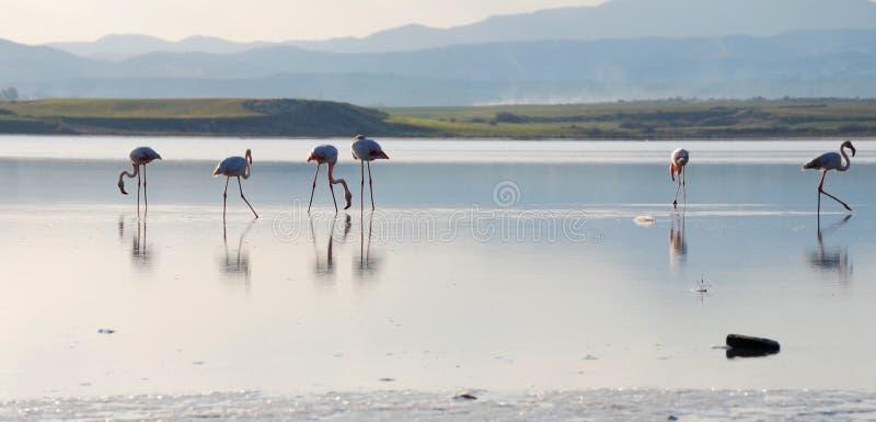 Flamants à un lac photographie stock libre de droits