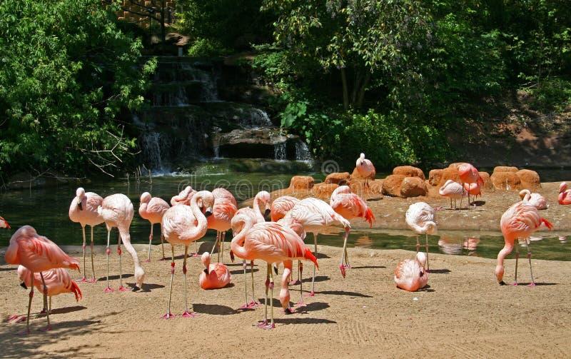 Download Flamants photo stock. Image du florida, jungle, tropical - 726236