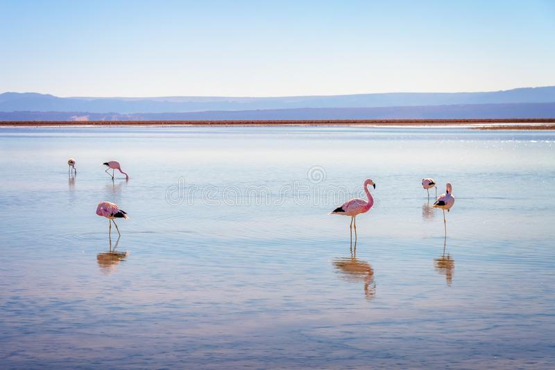 Flamants andins à Laguna Chaxa, Atacama Salar, Chili image libre de droits