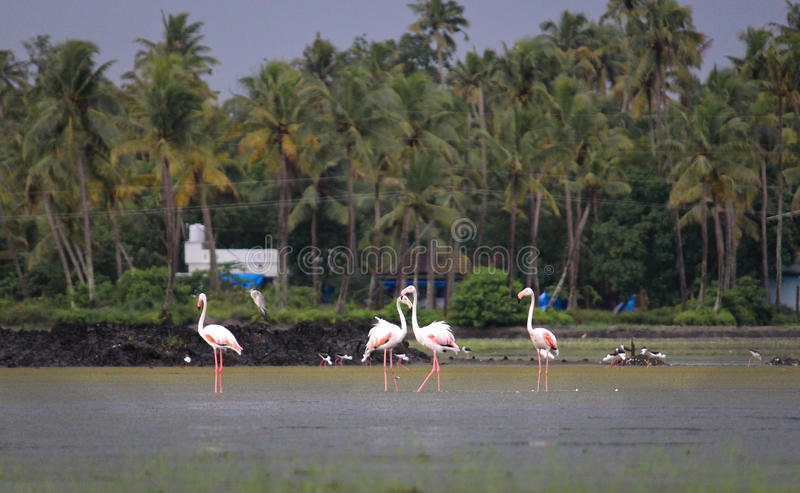 Flamants au Kerala photo stock