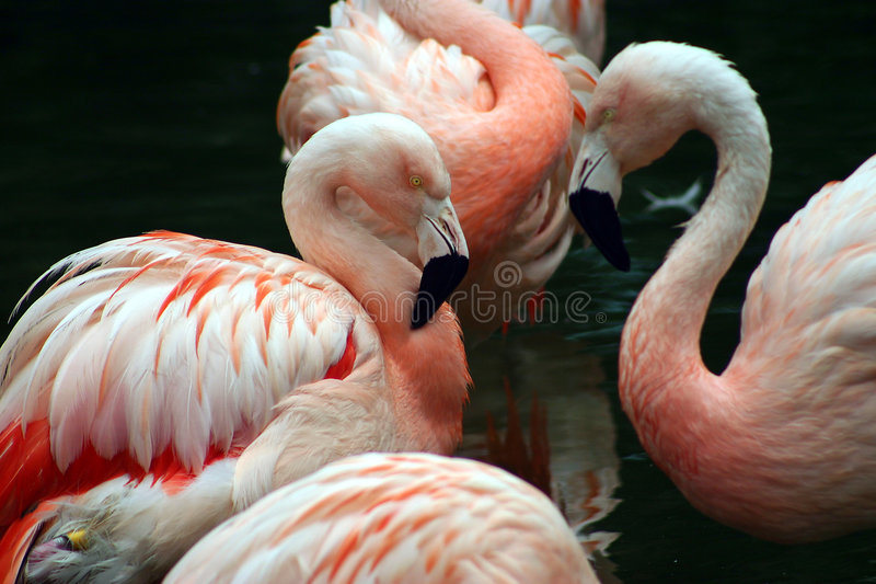 Flamants blancs et roses se toilettant image stock