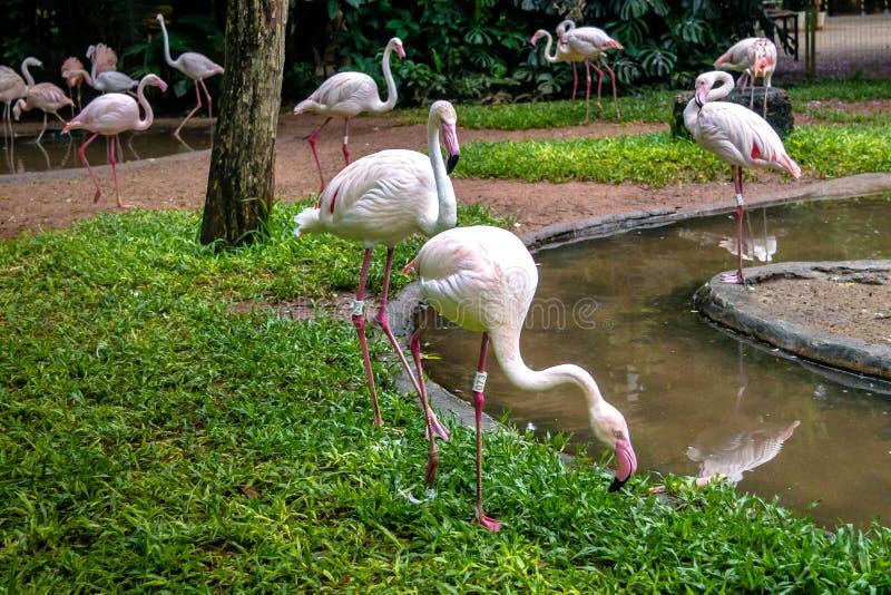 Flamants chez Parque DAS Aves - Foz font Iguacu, Parana, Brésil image stock