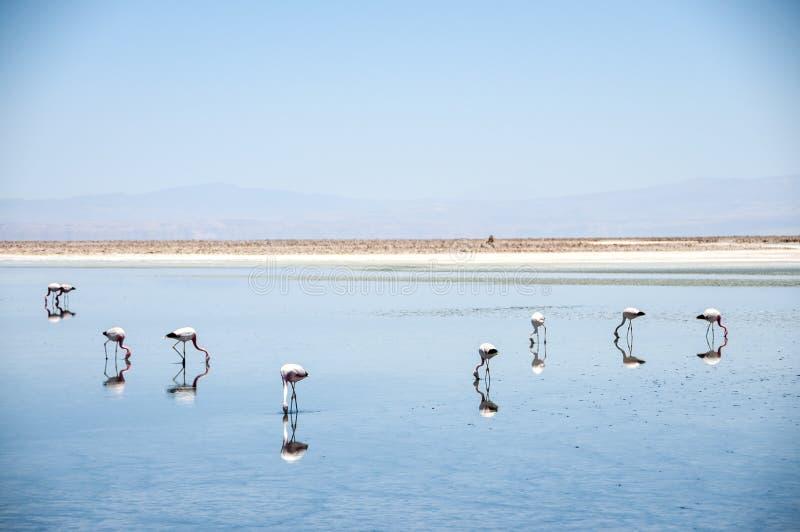 Flamants dans le désert d'Atacama, Bolivie image libre de droits