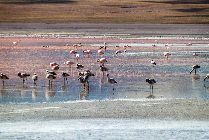 Flamants dans le lac hued rouge laguna Colorada photos stock