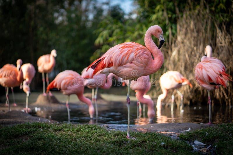 Flamants dans le zoo de Francfort image stock