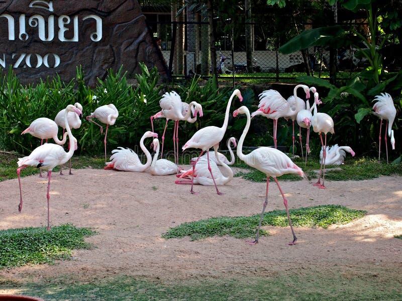 Flamants dans le zoo de Pattaya, Thaïlande photos libres de droits