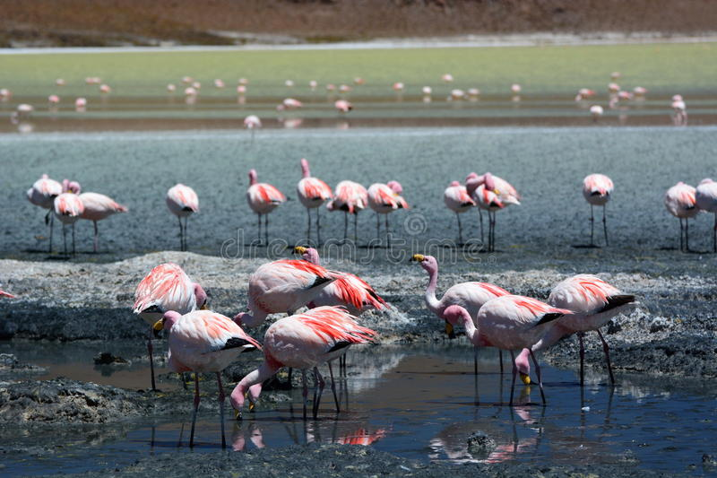 Flamants de James à Laguna Hedionda Département de Potosà bolivia photographie stock
