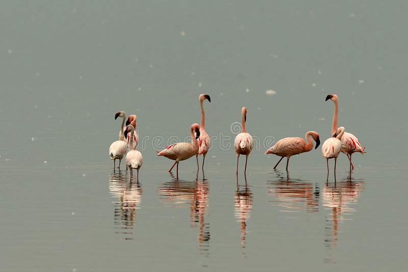 Flamants de lac Nakuru photos stock