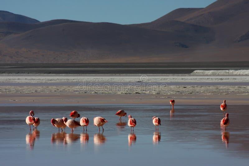 Flamants de Laguna Colorada images libres de droits