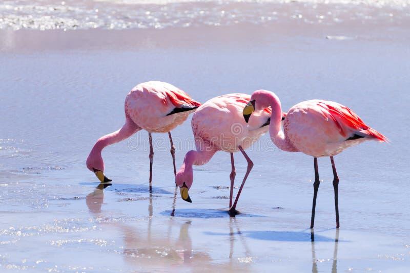 Flamants de Laguna Hedionda, Bolivie photo stock