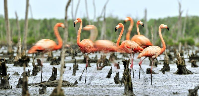 Flamants des Caraïbes (ruber de ruber de Phoenicopterus) photographie stock libre de droits