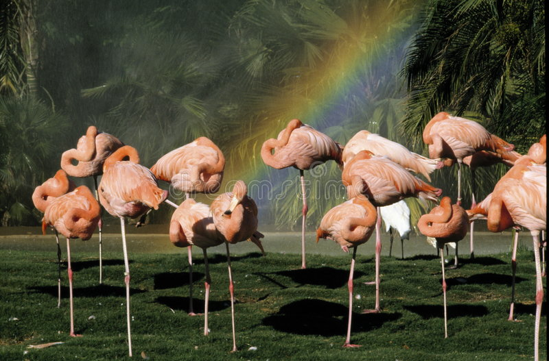 Flamants et un arc-en-ciel photographie stock