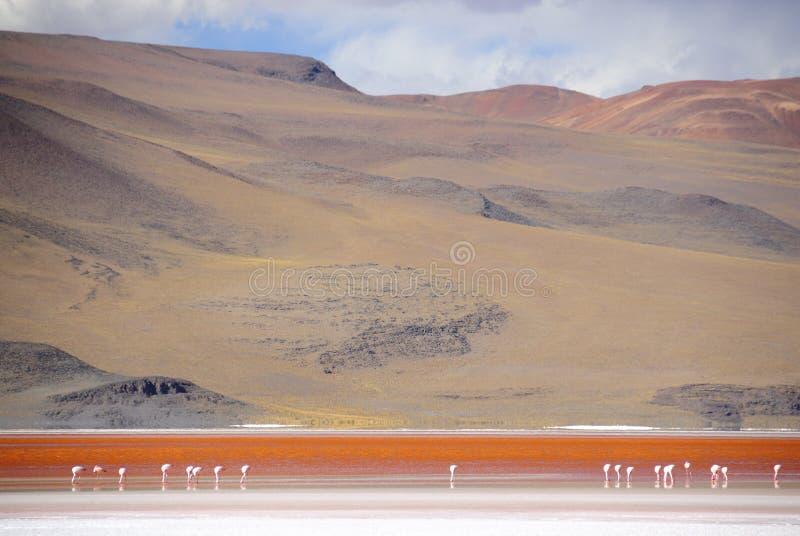 flamants laguna de colorada photo libre de droits