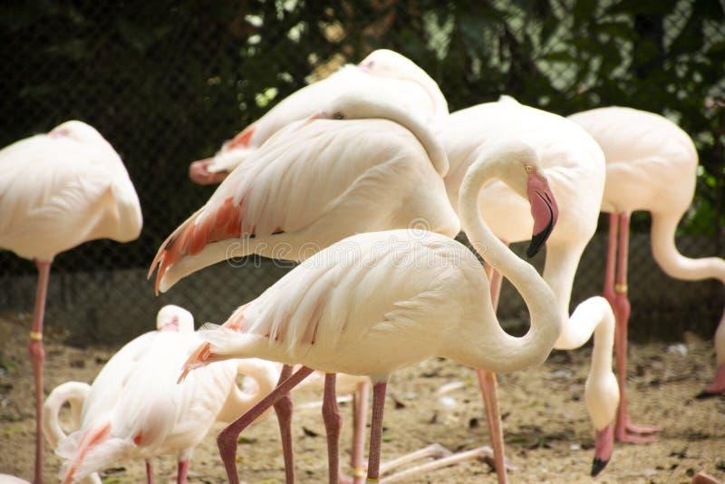Flamants ou oiseaux de flamants dans la cage au parc public à Bangkok, Thaïlande photos libres de droits