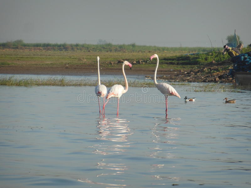 Flamants roses photographie stock