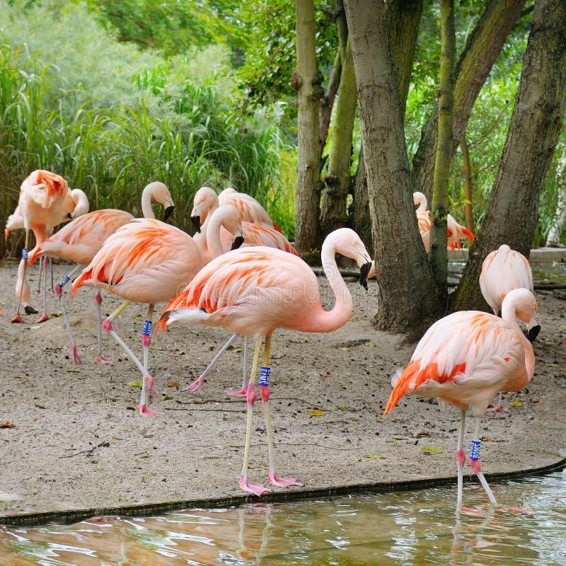 Flamants roses au jardin zoologique images libres de droits