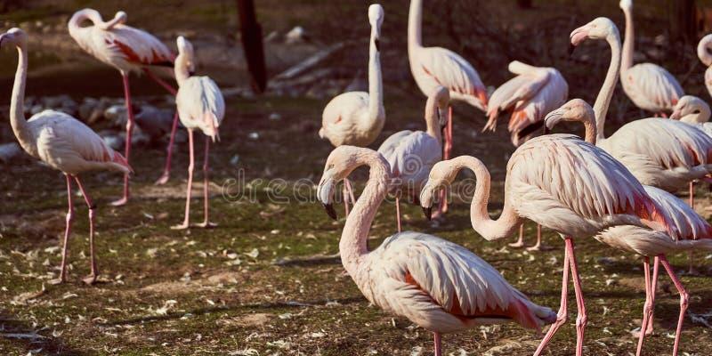 Flamants roses en troupeau de zoo photographie stock libre de droits
