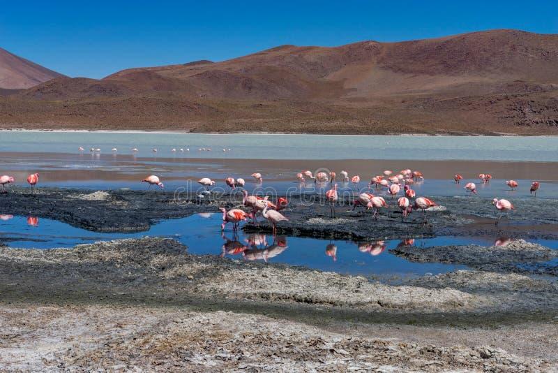 Flamants roses Laguna Hedionda Altiplano Bolivie photo libre de droits