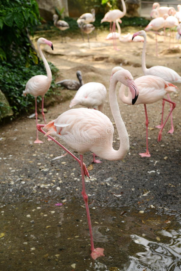 Flamants roses marchant au zoopark image libre de droits