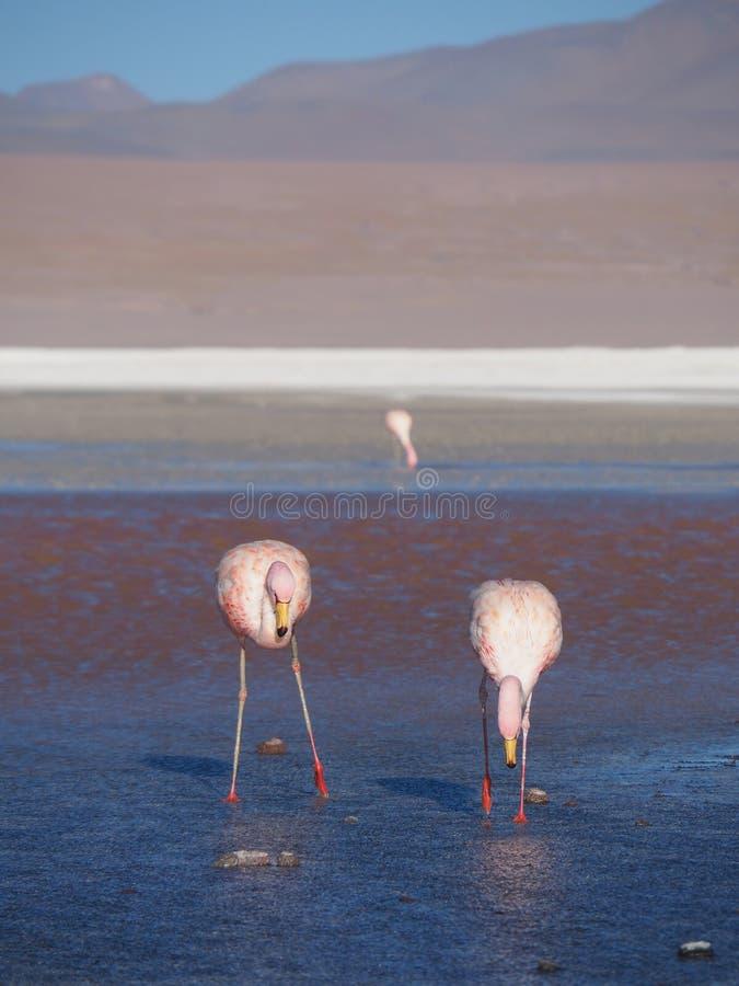 Flamants sauvages dans la lagune colorée photos stock