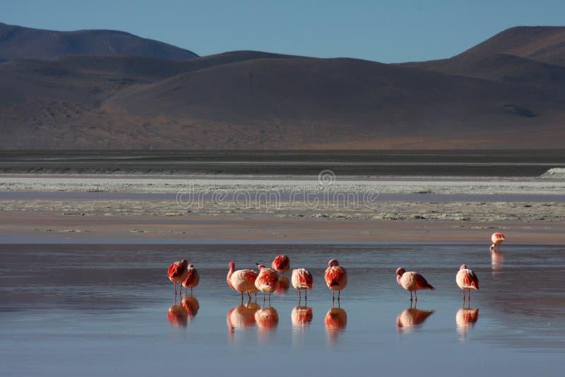 Flamants sur Laguna Colorada photos libres de droits