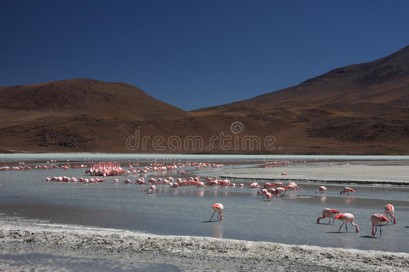 Flamants sur Laguna Hedionda photo libre de droits