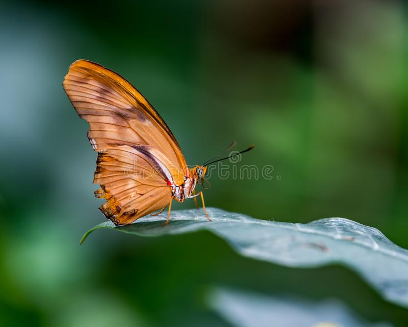 Flambeau butterly perched on a leaf. In Butterfly garden if Bronx Zoo stock photography