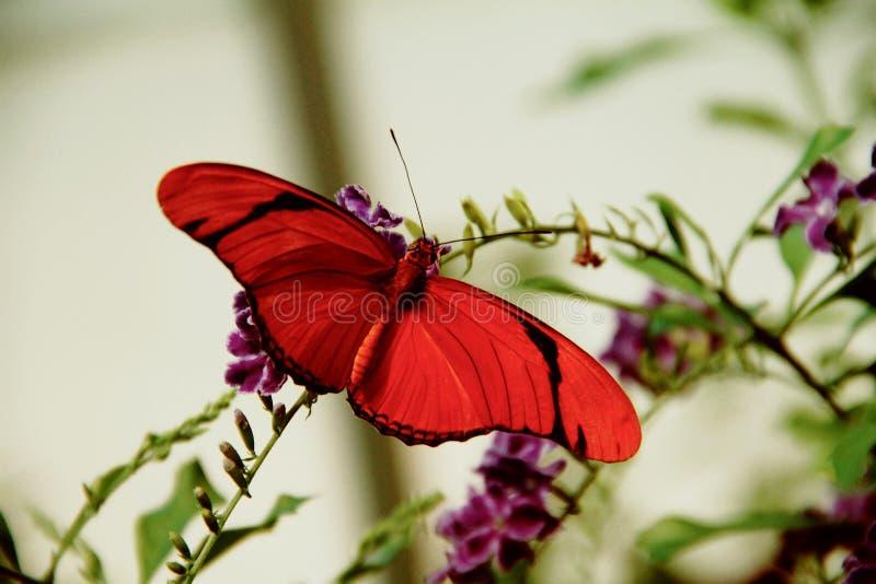 Flambeau gestreepte oranje heliconian vlinder royalty-vrije stock afbeeldingen