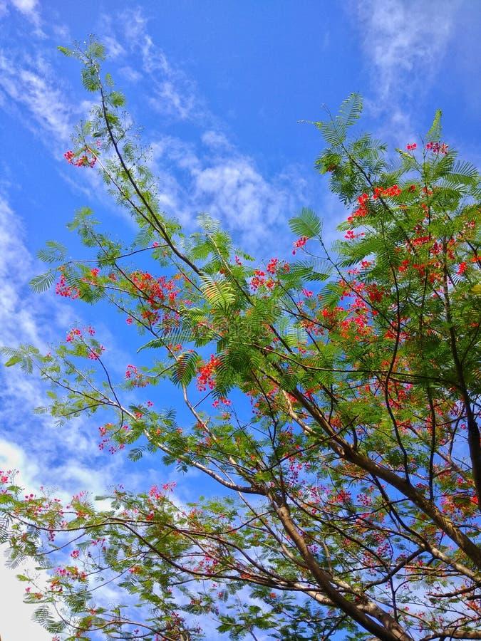 Flamboyanboom stock afbeelding