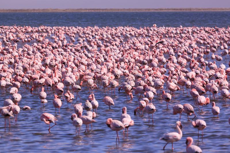 A Flamboyance of Flamingoes in Swakopmund, Namibia. A beautiful flamboyance of Flamingoes in Swakopmund, Namibia stock photography