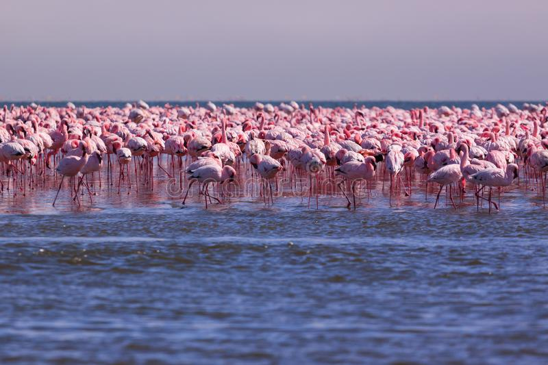 Flamboyance of Flamingos living on the coast of Swakopmund Namibia royalty free stock image