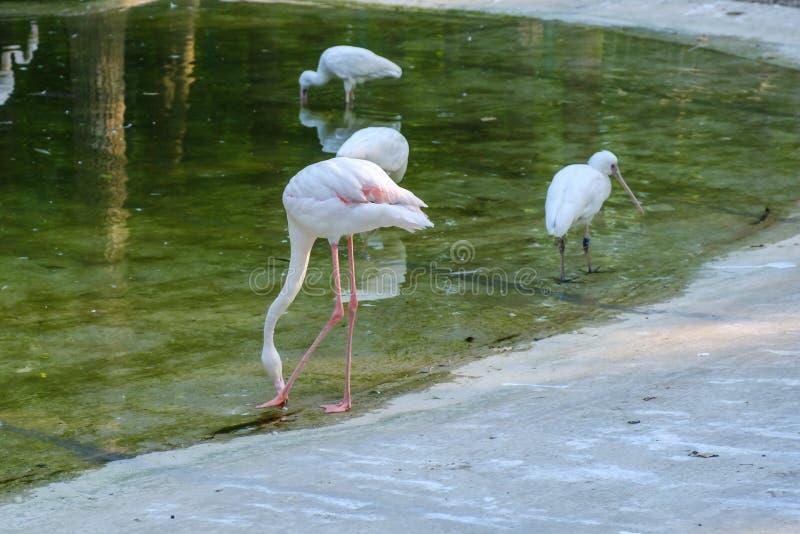 Flamboyance wielcy flamingi watuje w wodzie w złotym świetle przy zmierzchem obrazy royalty free