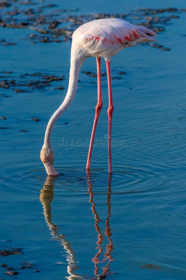 Flamboyance wielcy flamingi watuje w wodzie w z?otym ?wietle przy zmierzchem, Dubaj zdjęcie royalty free